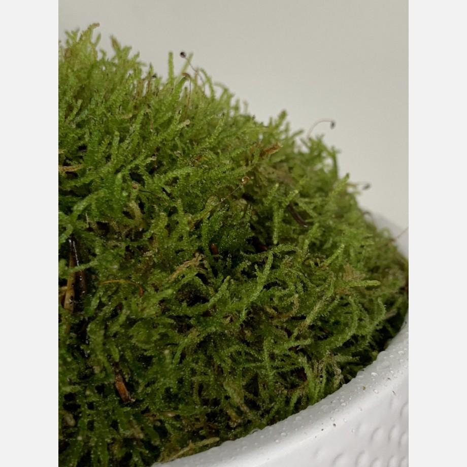 Live Moss Bowl   Green Carpet Moss   19cm white bowl