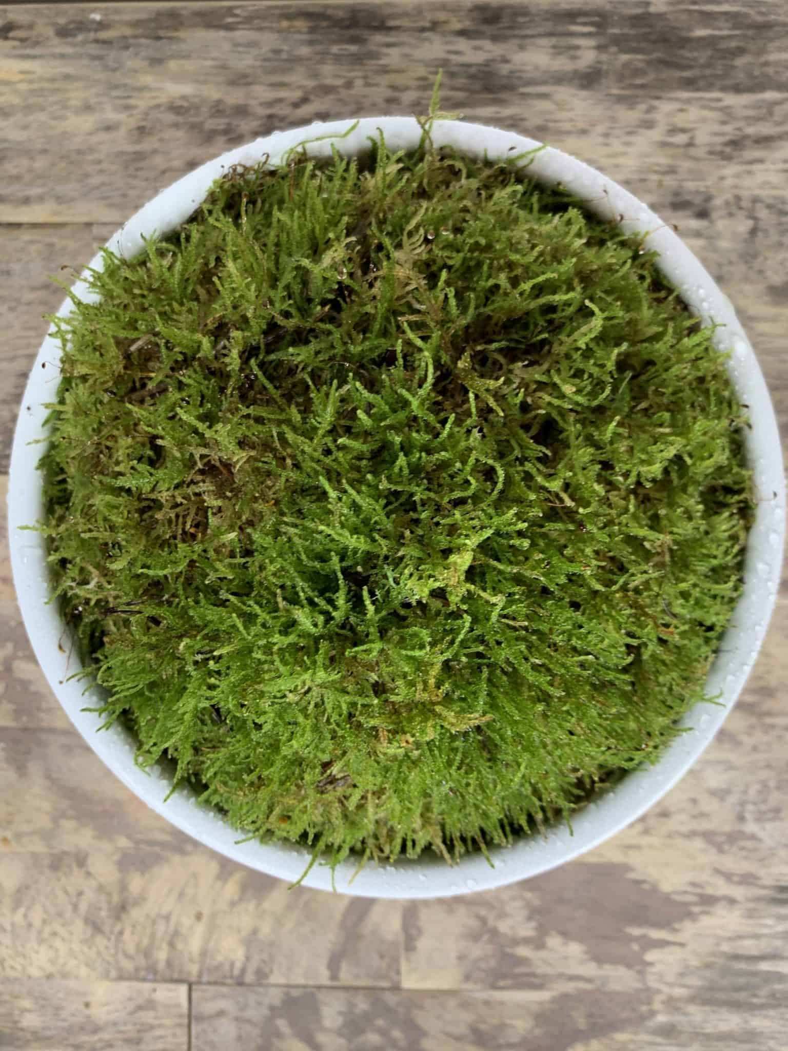 Fresh Live Sheet Carpet Moss