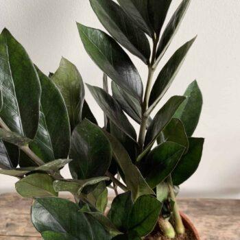 Super Nova | Similar to Black Raven ZZ Plant in 12cm pot Houseplants
