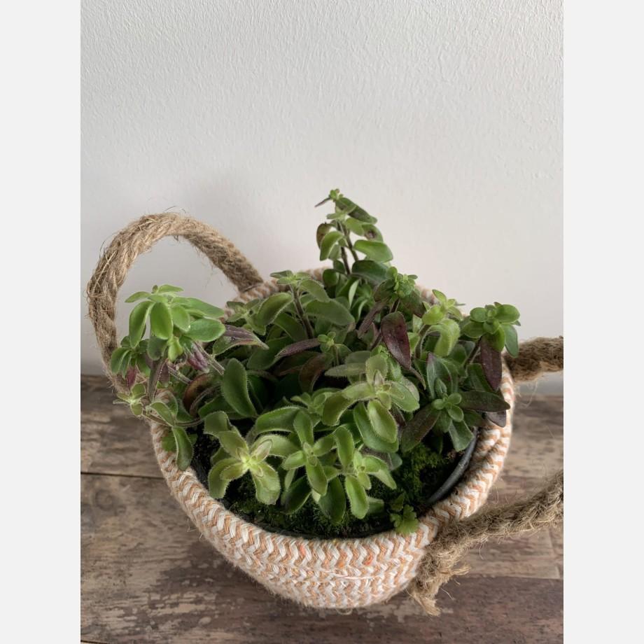 Aeschynanthus Twister Lipstick Plant in 14cm pot Houseplants 14cm plant 4