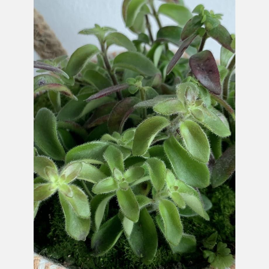 Aeschynanthus Twister Lipstick Plant in 14cm pot Houseplants 14cm plant 3