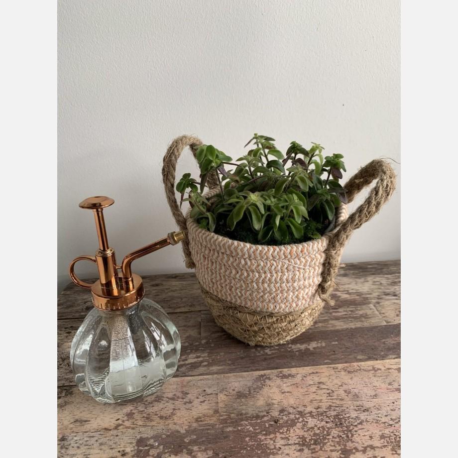 Aeschynanthus Twister Lipstick Plant in 14cm pot Houseplants 14cm plant 2