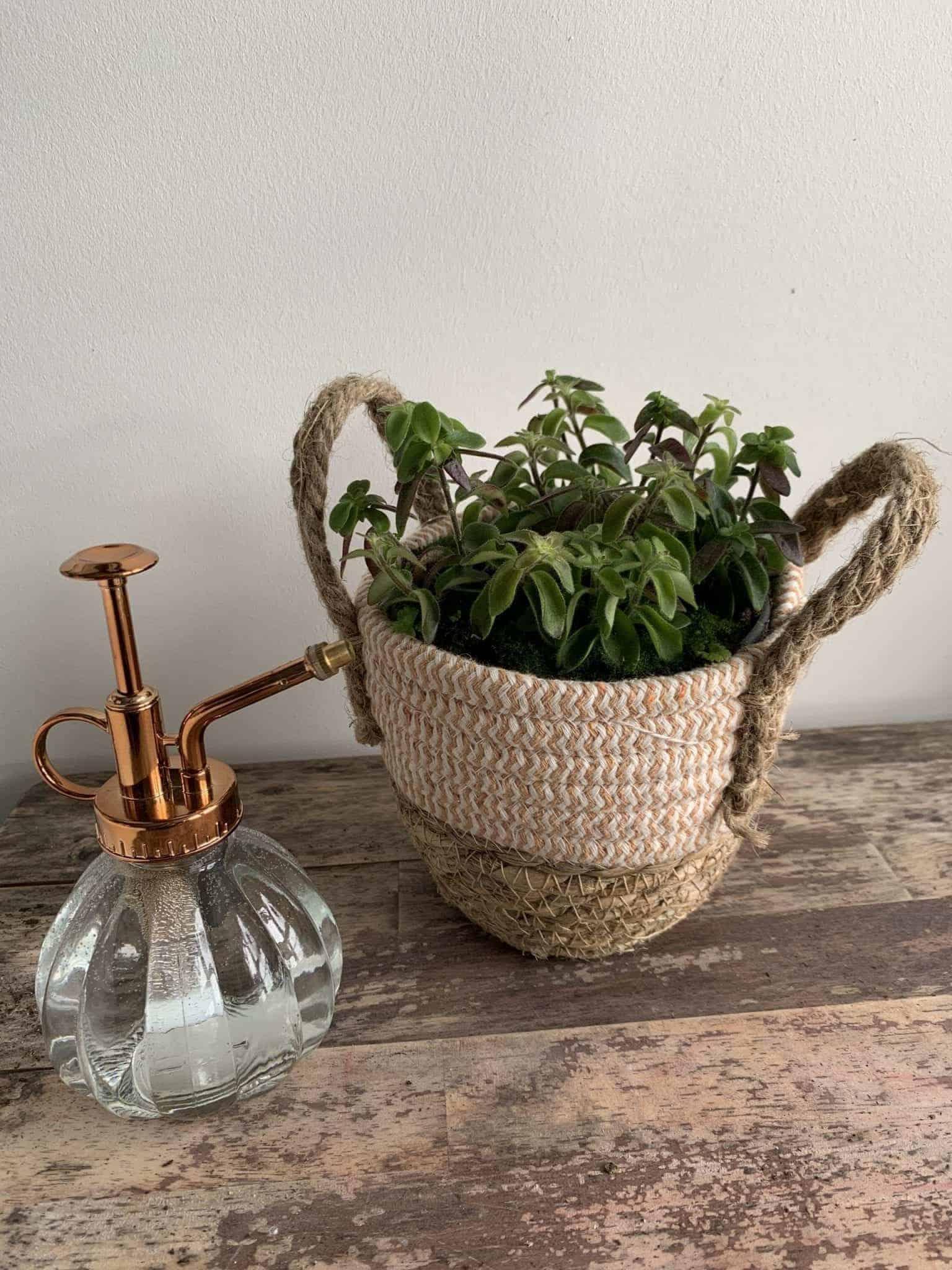 Aeschynanthus Twister Lipstick Plant in 14cm pot