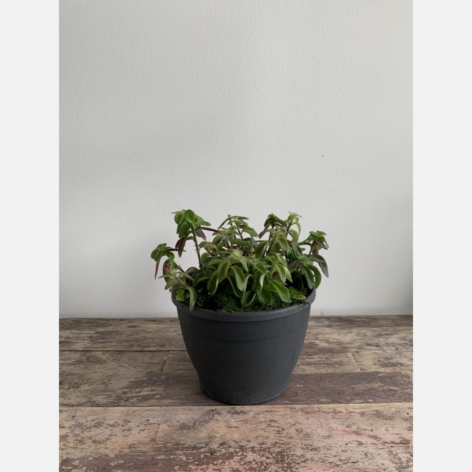 Aeschynanthus Twister Lipstick Plant in 14cm pot Houseplants 14cm plant 5