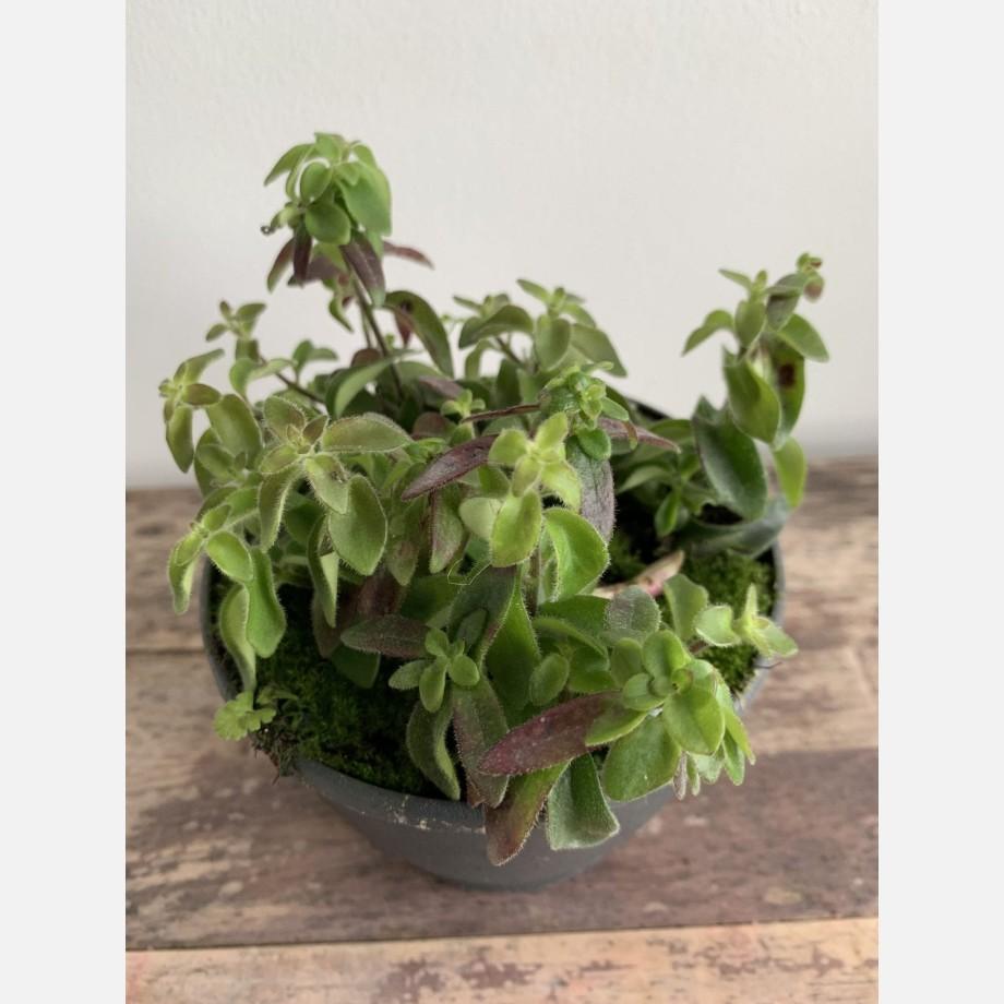 Aeschynanthus Twister Lipstick Plant in 14cm pot Houseplants 14cm plant