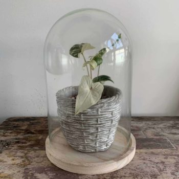 Cloche Dome Bell Jar on Wooden Base | 24cm x 15cm Cloche bell dome