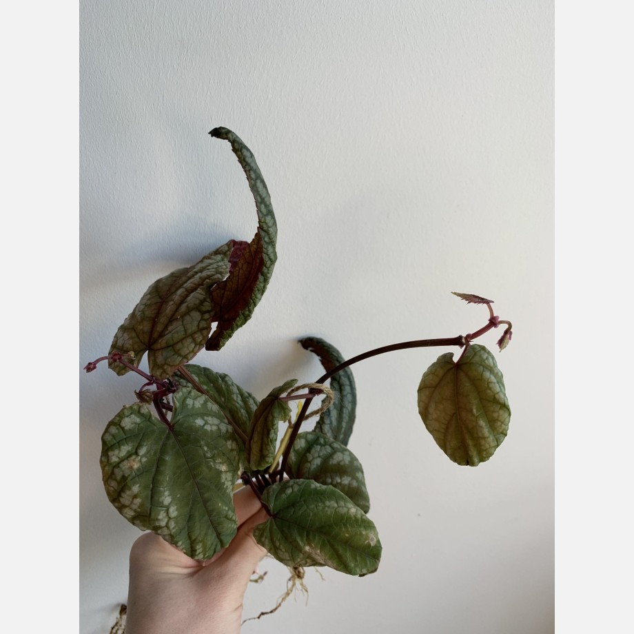 Cissus Discolor ROOTED Cuttings | Rex begonia vine