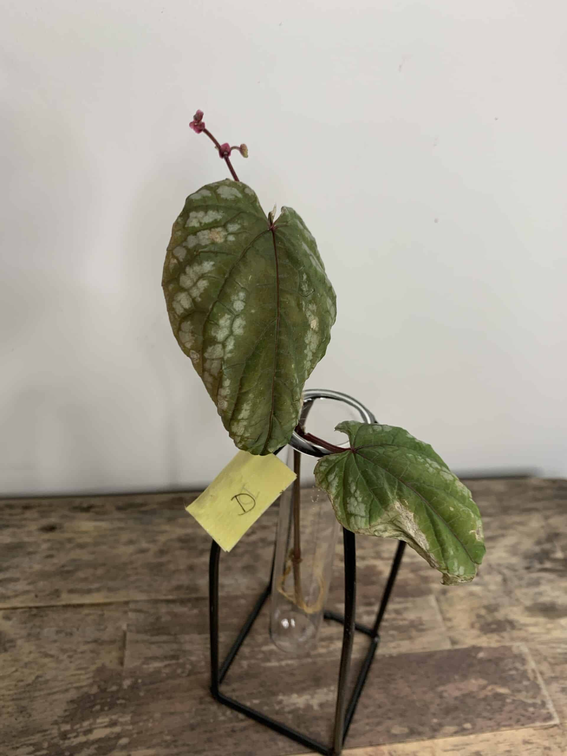 Cissus Discolor ROOTED Cuttings | Rex begonia vine - D
