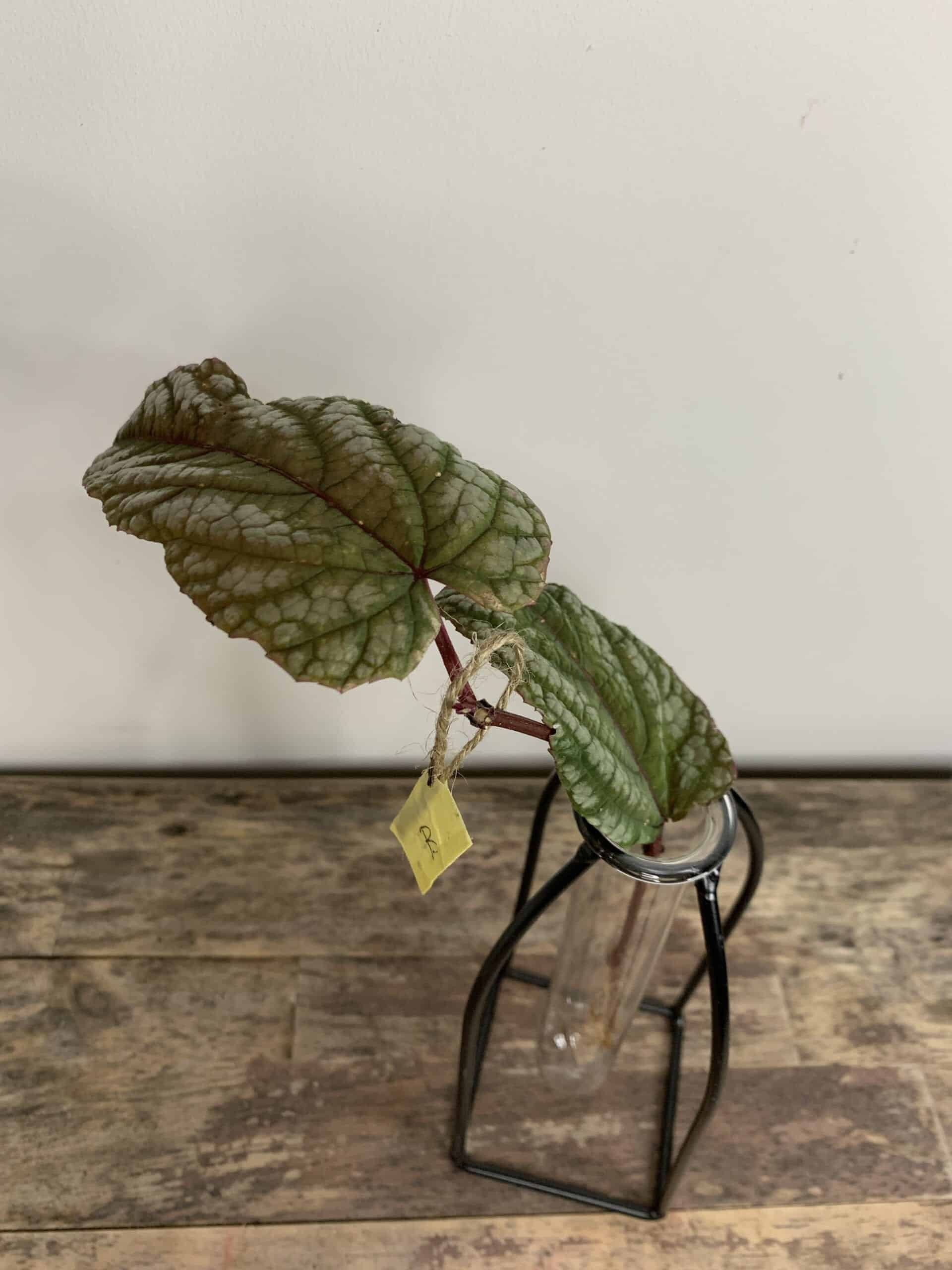 Cissus Discolor ROOTED Cuttings | Rex begonia vine - B