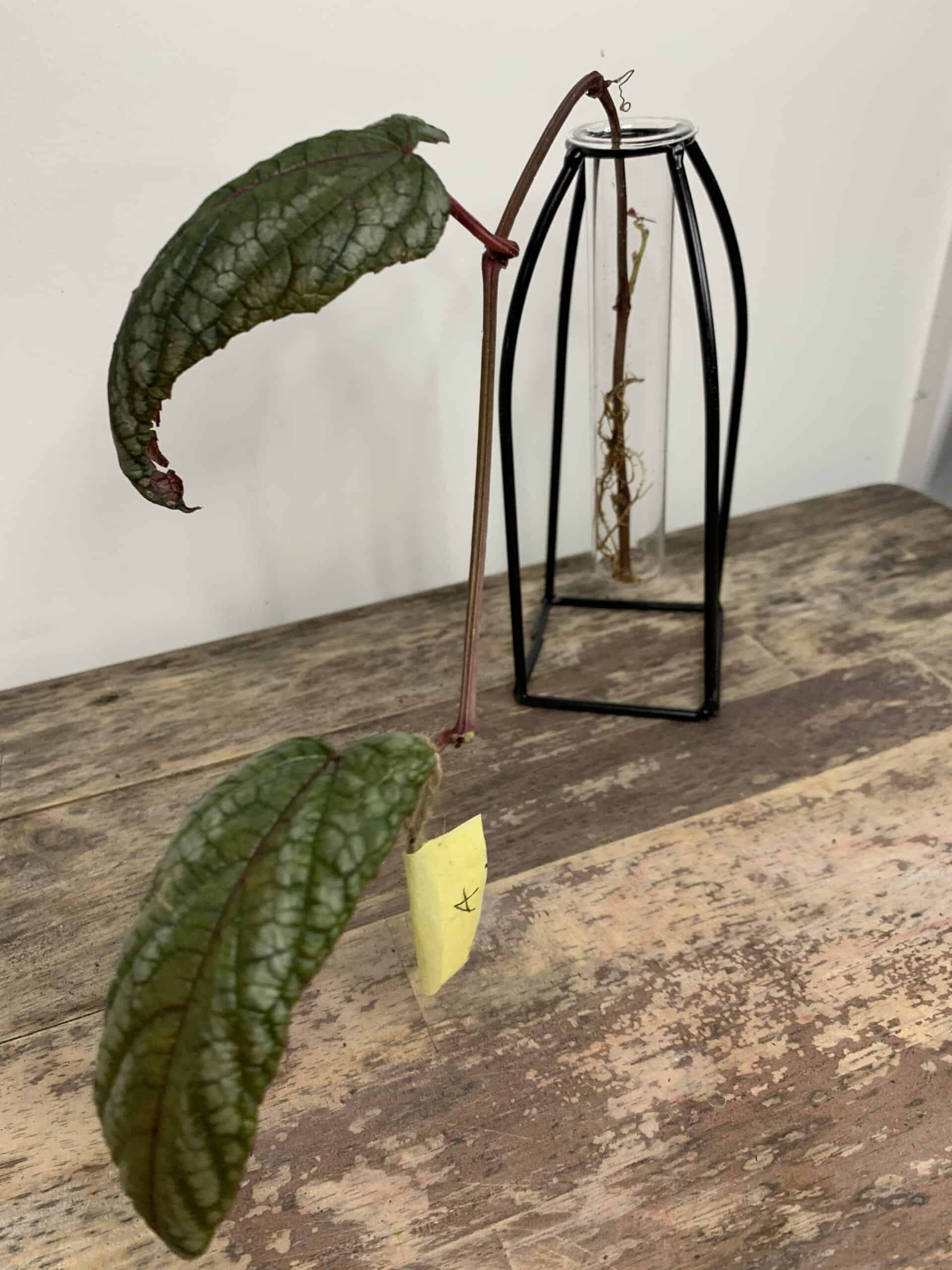 Cissus Discolor ROOTED Cuttings | Rex begonia vine - A