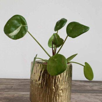 Little Gold Planter for 5cm pots Planters 5cm planter