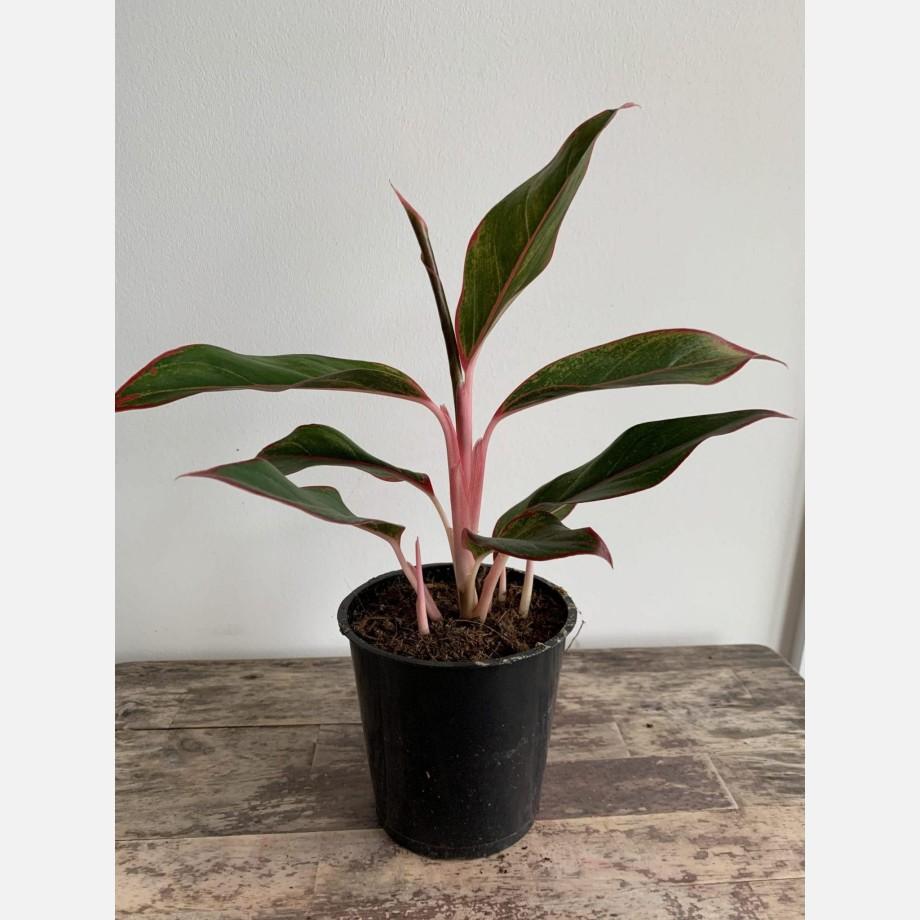 Aglaonema Crete Jungle Red 12cm pot Houseplants 12cm pot 2
