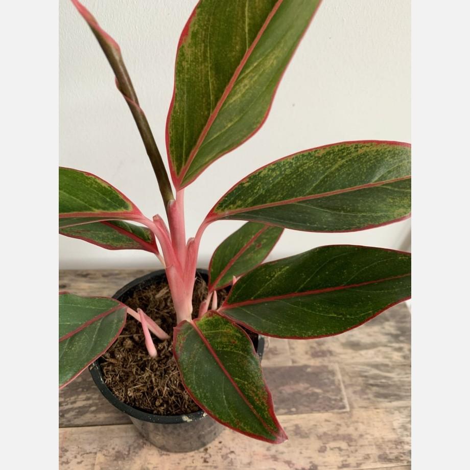 Aglaonena Crete Jungle Red 12cm pot