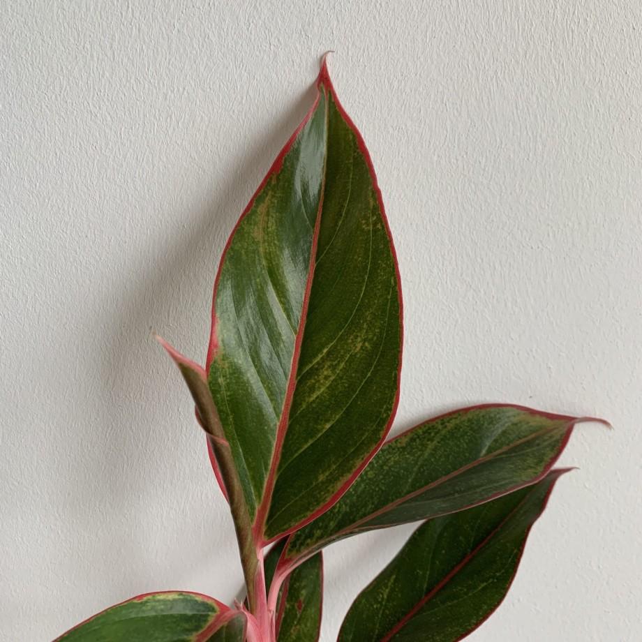 Aglaonema Crete Jungle Red 12cm pot Houseplants 12cm pot 3