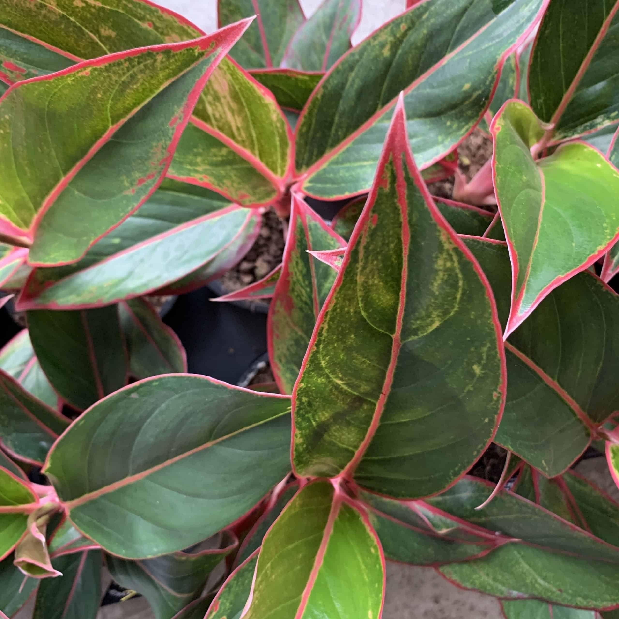 Aglaonema Crete Jungle Red 12cm pot