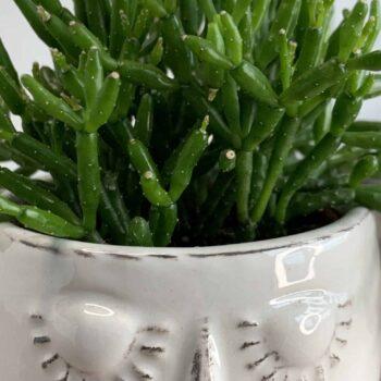 Rhipsalis Chain Cactus in little head planter Houseplants 6cm plant 2