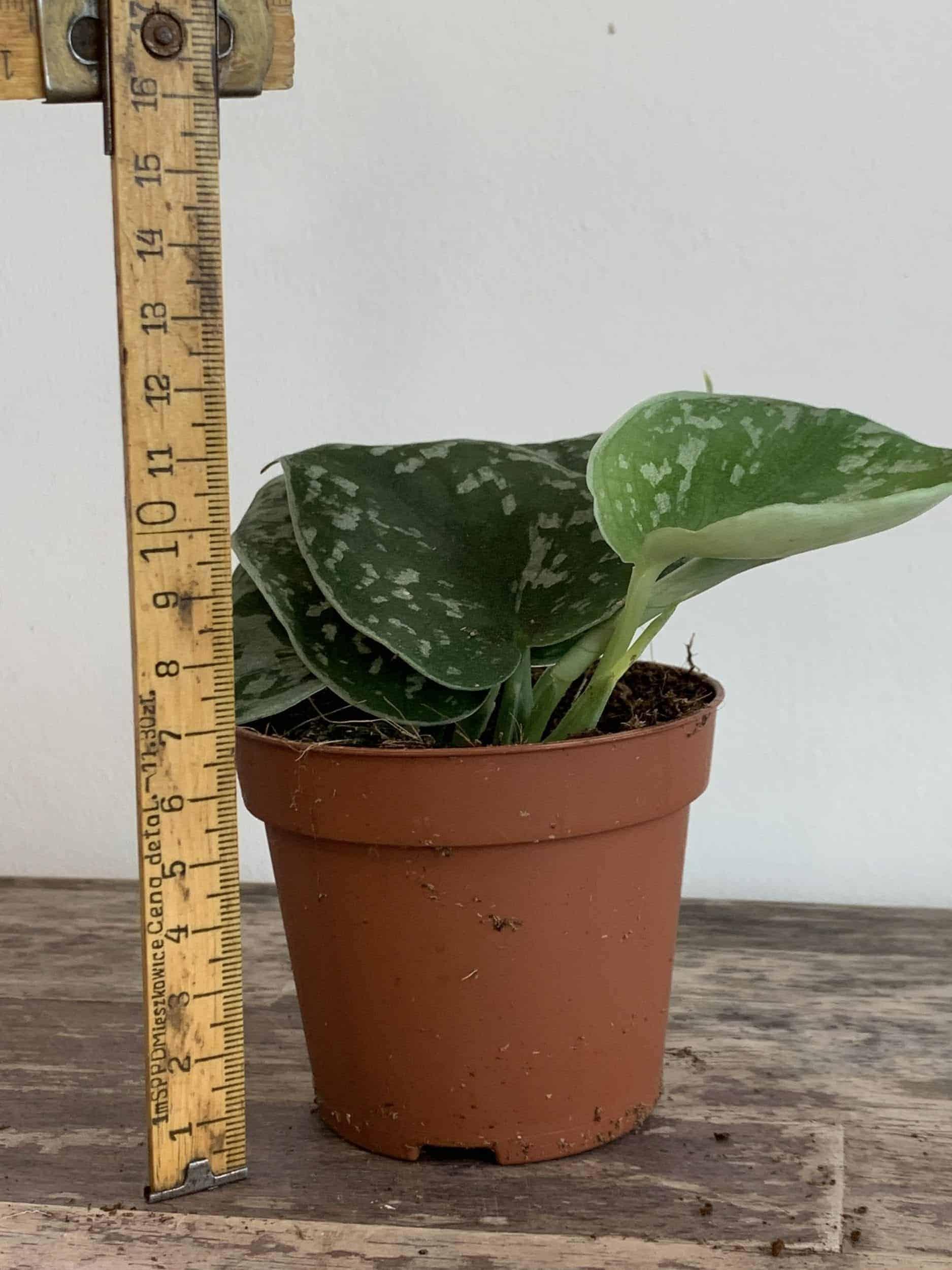 Epipremnum pictum Argyraeus - Satin Pothos 8.5cm