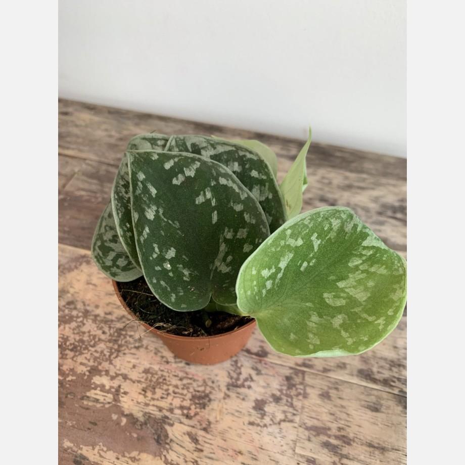 Scindapsus pictus Silver Ann Satin pothos 8.5cm