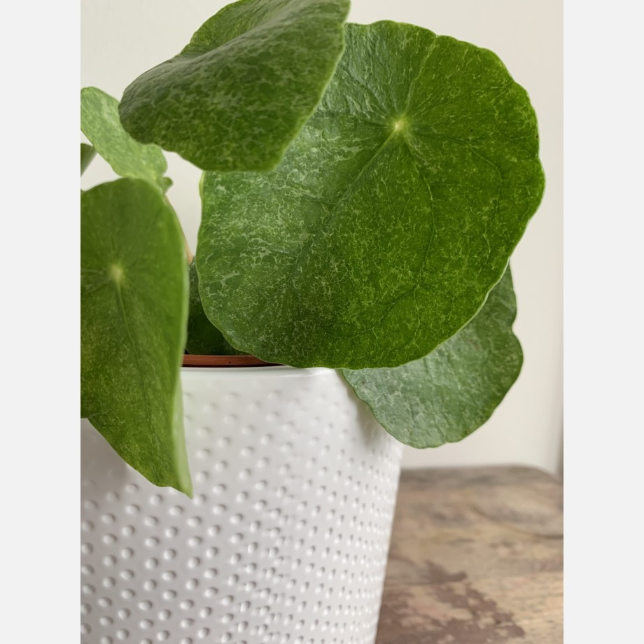 Pilea Sugar in 13cm pot | Very unusual and rare variant of Chinese Money Plant Houseplants 7