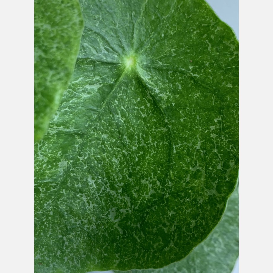 Pilea Sugar in 13cm pot | Very unusual and rare variant of Chinese Money Plant Houseplants 6