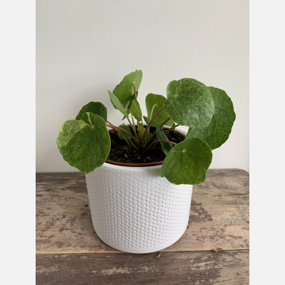 Pilea Sugar in 13cm pot | Very unusual and rare variant of Chinese Money Plant Houseplants 10
