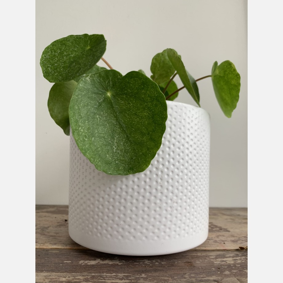 Pilea Sugar in 13cm pot | Very unusual and rare variant of Chinese Money Plant Houseplants 9