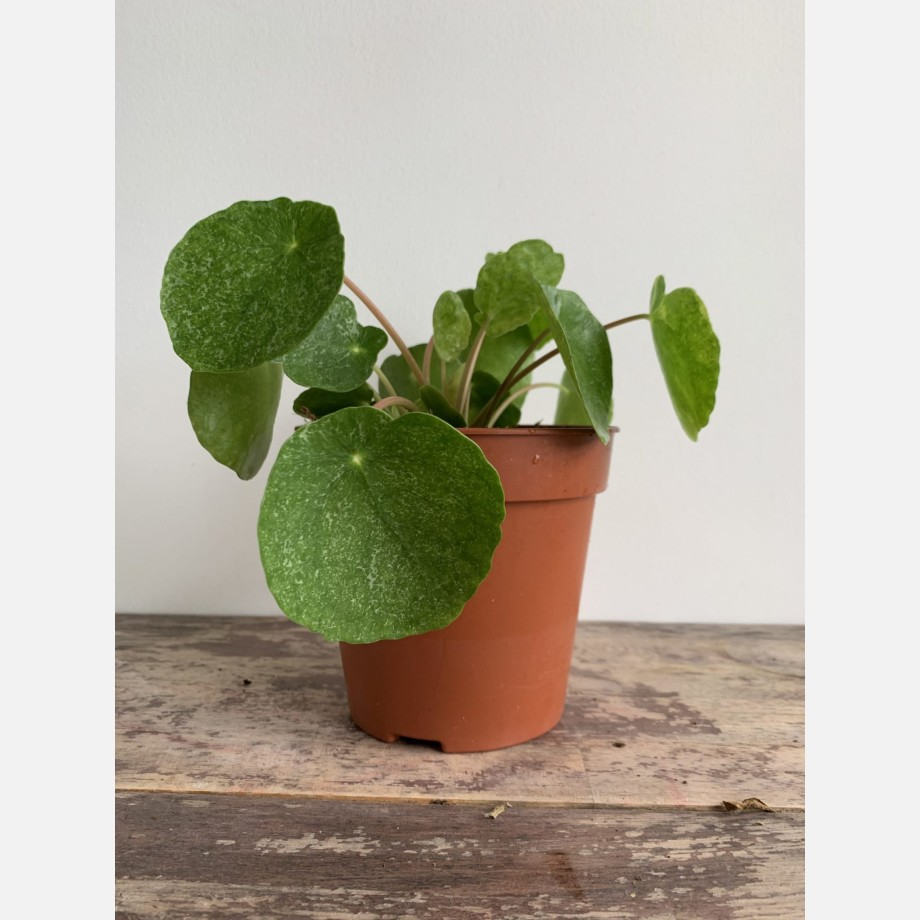 Pilea Sugar in 13cm pot | Very unusual and rare variant of Chinese Money Plant Houseplants 5