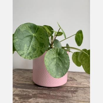 Pink planter with subtle dot design for up to 14cm pots Plant Accessories 14cm planter