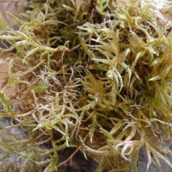 Fresh Live Feather Moss – 25g Fresh Moss fresh moss