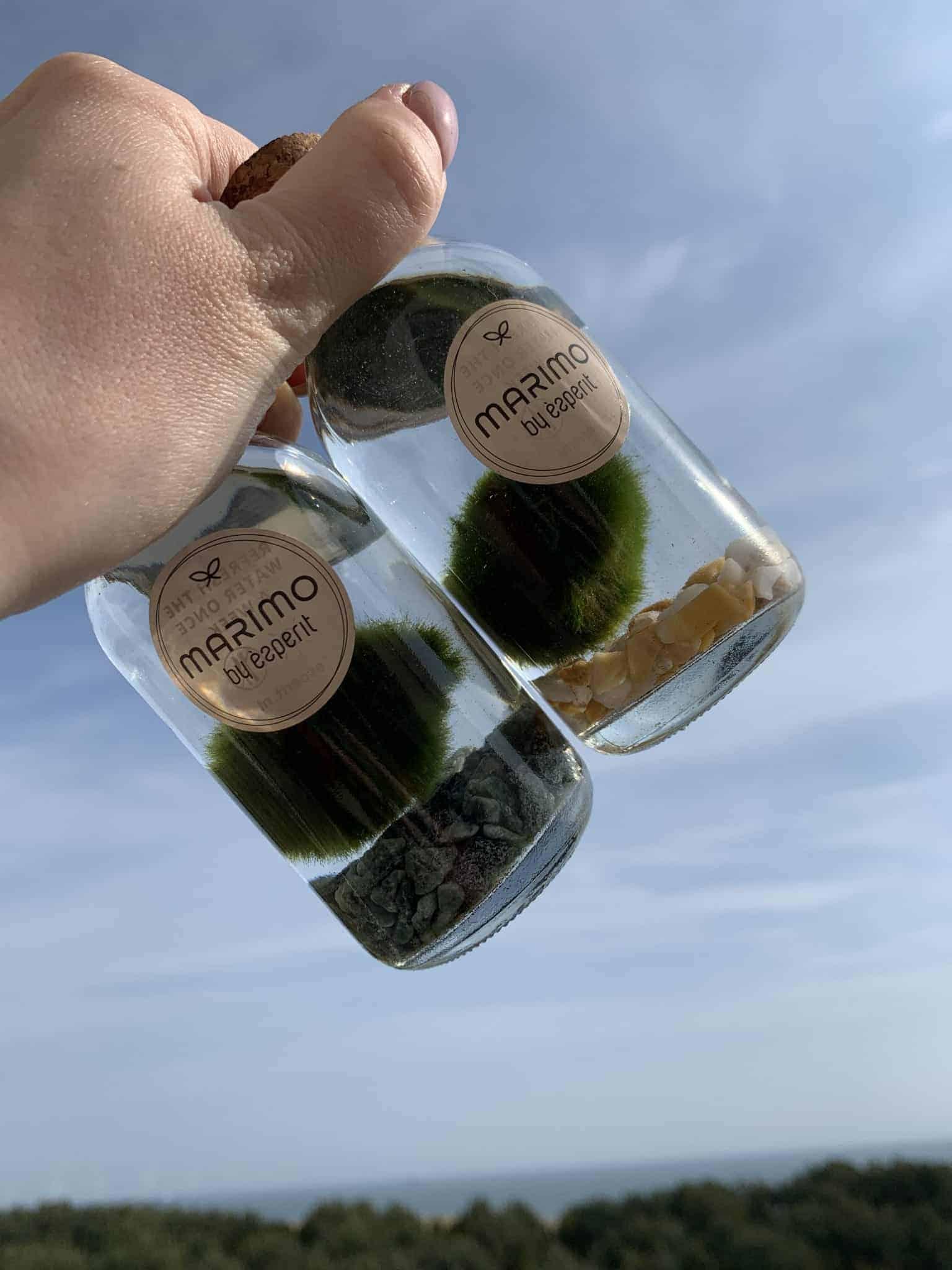 Marimo Moss Ball in a Little Bottle 12cm Tall