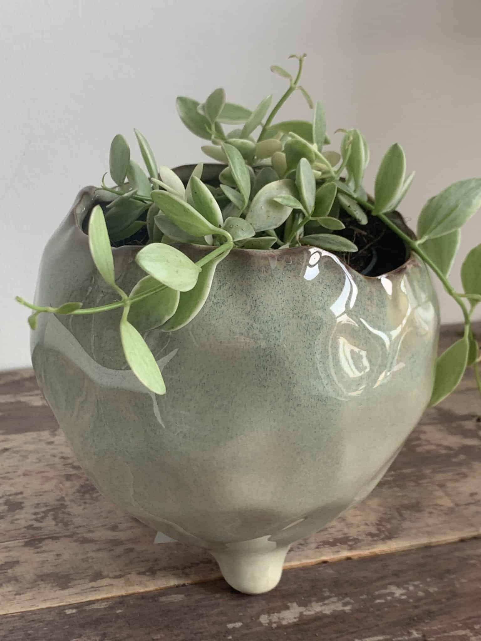 Dischidia Oiantha 'White Diamond' in 10cm pot