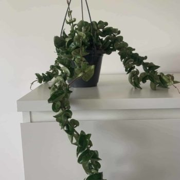 Hoya Carnosa Compacta | Wax plant | Rope indoor house plant in 14cm hanging pot Hanging & Trailing