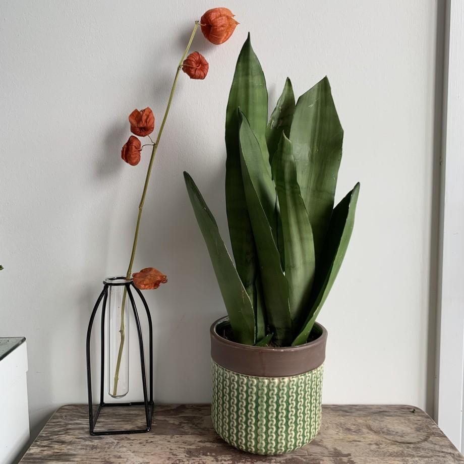 Moonshine Snake Plant | Sansevieria Trifasciata | Mother In Laws Tongue | 12cm | 40cm Houseplants 8