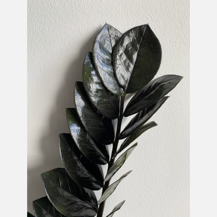 ZZ Raven 14cm Pot 55cm Tall | Amazing black leaves Houseplants 5