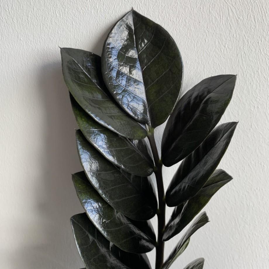 ZZ Raven 14cm Pot 55cm Tall | Amazing black leaves Houseplants 8