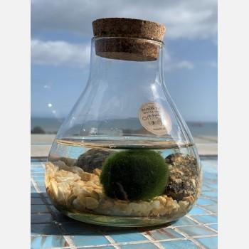 Marimo Moss Ball in a Wide Bottle 14cm Tall Marimo Moss