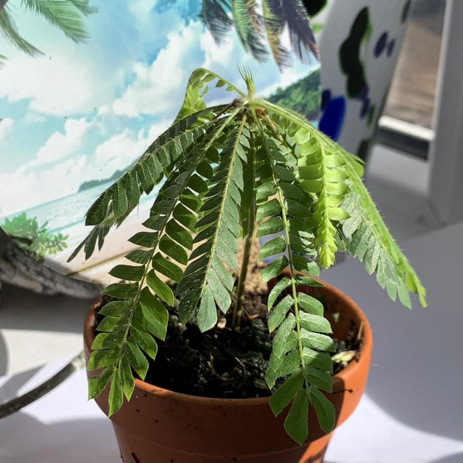Biophytum Sensitivum in 9cm Terracotta Pot Houseplants 8
