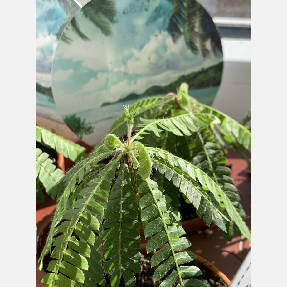 Biophytum Sensitivum in 9cm Terracotta Pot Houseplants 7