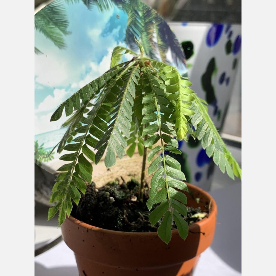 Biophytum Sensitivum in 9cm Terracotta Pot Houseplants 6