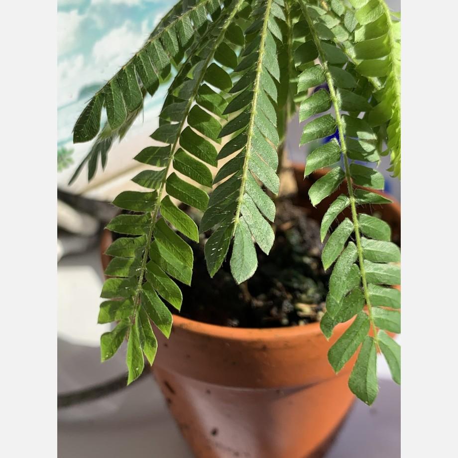 Biophytum Sensitivum in 9cm Terracotta Pot Houseplants 5
