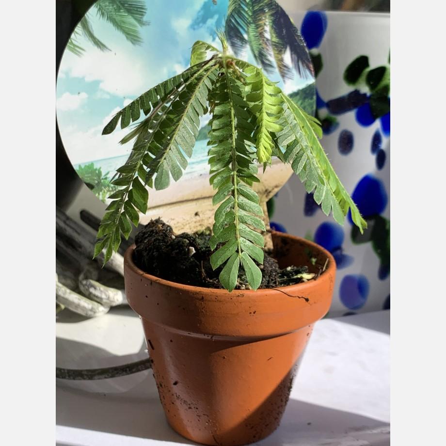 Biophytum Sensitivum in 9cm Terracotta Pot Houseplants 4