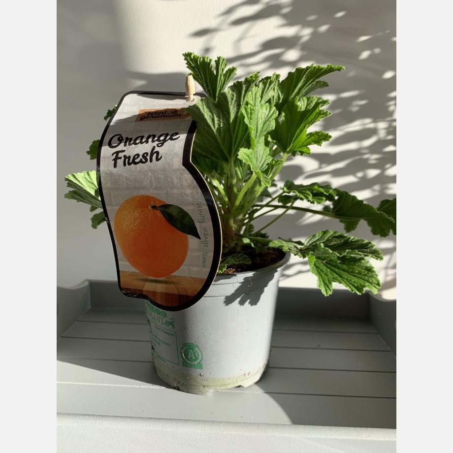 Fresh Orange Scented Geranium in 12cm pot Houseplants 4