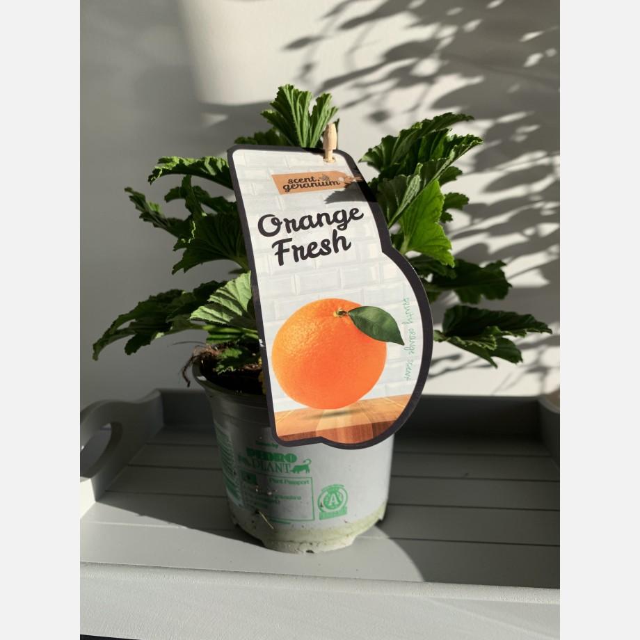 Fresh Orange Scented Geranium in 12cm pot Houseplants 8