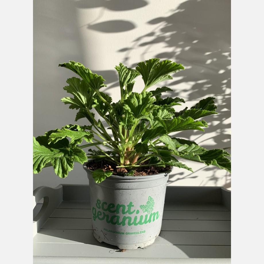 Fresh Orange Scented Geranium in 12cm pot Houseplants 6