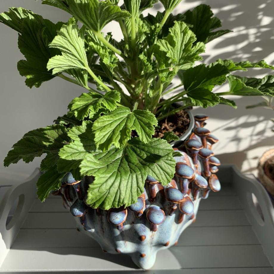 Fresh Orange Scented Geranium in 12cm pot Houseplants 5