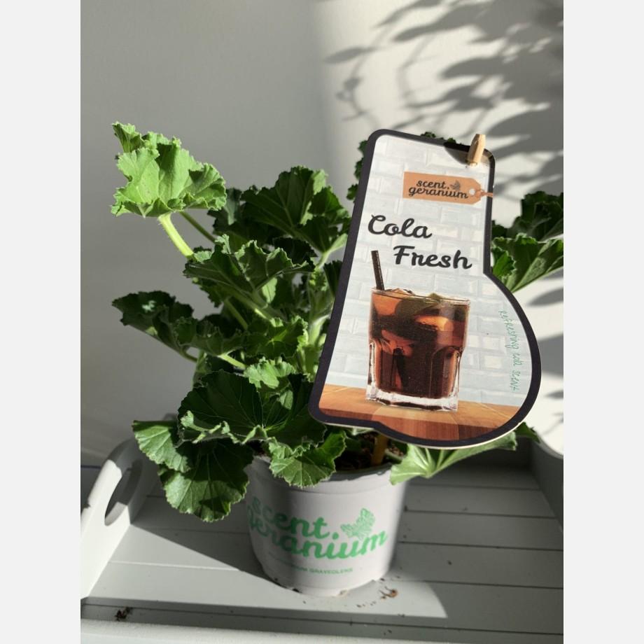 Fresh Cola Scented Geranium in 12cm pot | Coca Cola Scent!