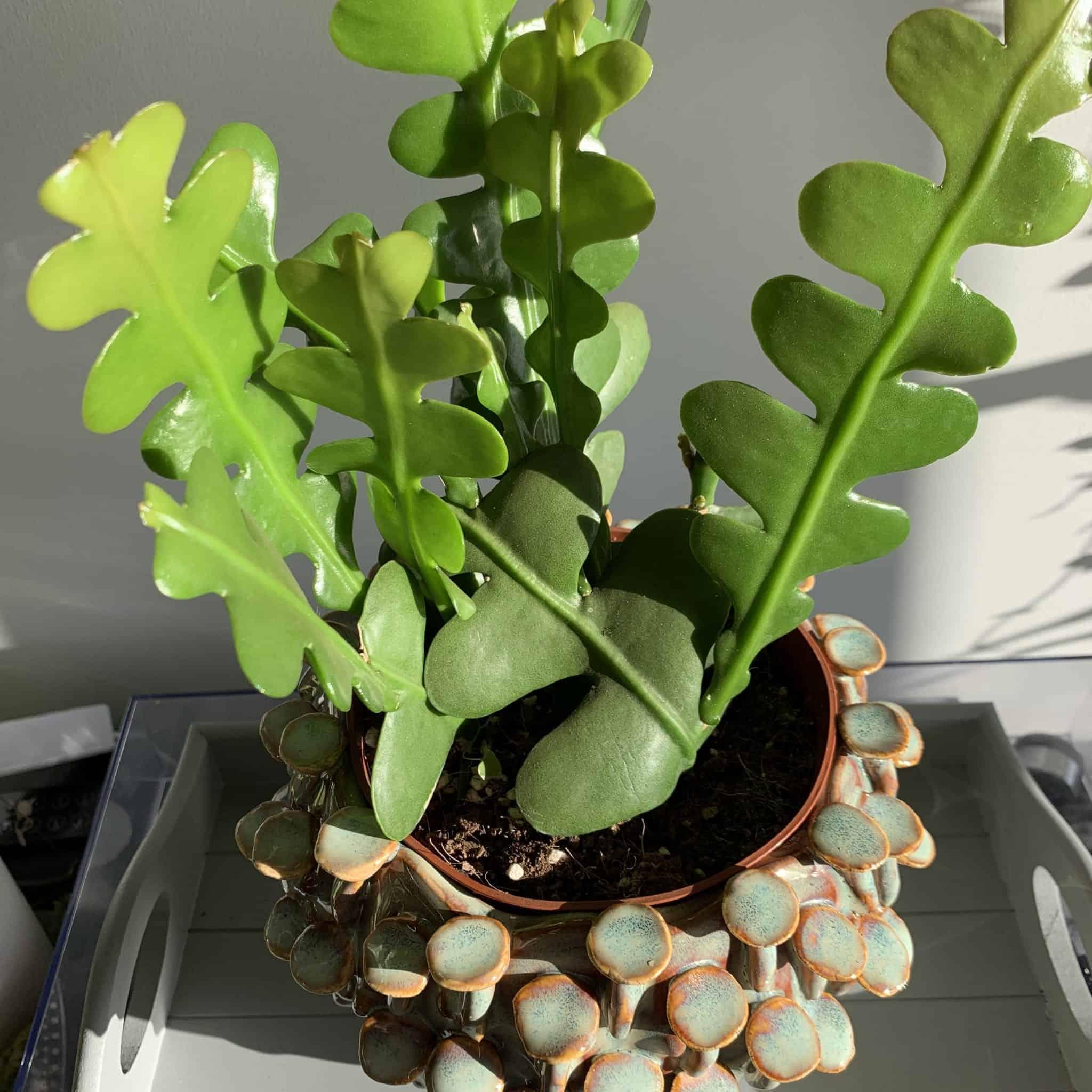 Fishbone Cactus Epiphyllum Anguliger in 12cm pot