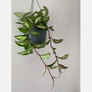 Hoya Carnosa Tricolor | wax plant in 17cm pot Houseplants