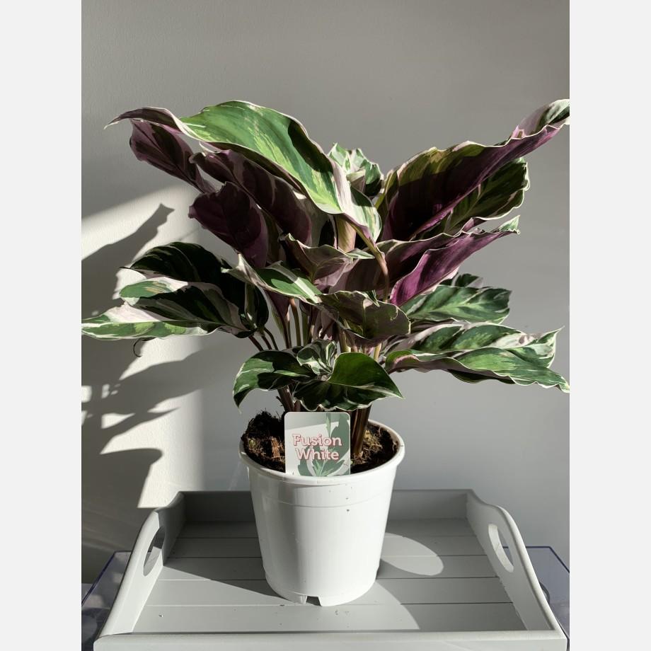 Calathea White Fusion 14cm   Very Rare Houseplants 4