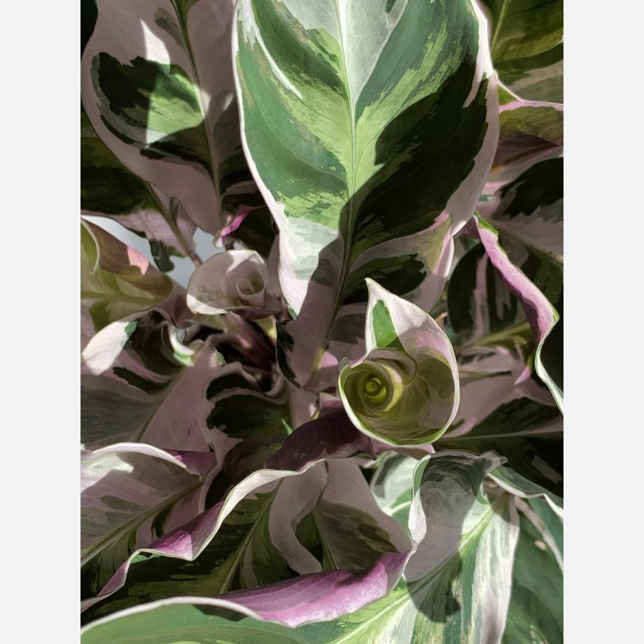 Calathea White Fusion 14cm   Very Rare Houseplants 10